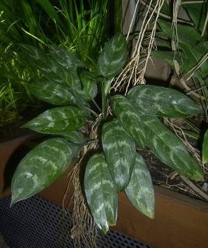 вредитель комнатных растении трипс фото